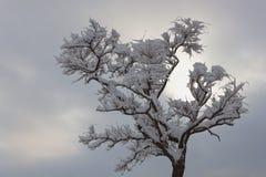 Osamotniona akacja bez liści obficie zakrywających z śniegiem Obraz Royalty Free