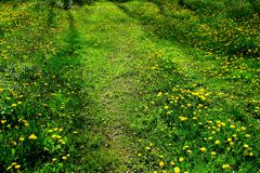 Osamotniona droga po środku pola zielona trawa i acrpet dandelions fotografia stock