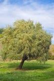 osamotniona drzewna wierzba Zdjęcie Stock