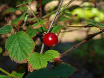 Osamotniona jagodowa wiśnia Obrazy Stock