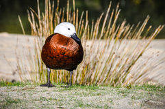 Osamotniona kaczka w Abel Tasman parku narodowym, Nowa Zelandia Obraz Royalty Free