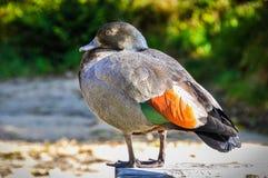 Osamotniona kaczka w Abel Tasman parku narodowym, Nowa Zelandia Zdjęcie Stock