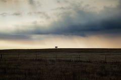 Osamotniona krowa i dramatyczne chmury Zdjęcia Stock