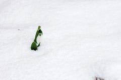 osamotniona kwiat wiosna Zdjęcie Stock