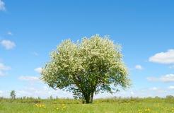 Osamotniona kwitnąca jabłoń w polu Zdjęcie Stock