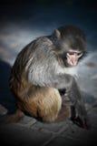 osamotniona małpa Zdjęcia Stock