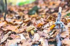 osamotniona pieczarka Naturalna biel pieczarka Pieczarka w żółtym jesieni ulistnieniu Obrazy Royalty Free