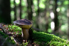 Osamotniona pieczarka w lesie obrazy stock