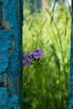 Osamotniona purpura kwitnie obok starego p?otowego ot b??kitn? farb? strugaj?c? daleko zdjęcie stock