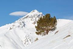 Osamotniona sosna r na skłonie góra Kaukaska grań, Dombai Fotografia Stock