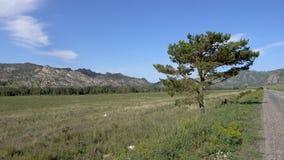 Osamotniona sosna w polu blisko autostrady z górami w tle Zdjęcie Stock