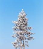 Osamotniona sosna zakrywająca z mrozem na spokojnej pogodnej zimnej zimie Obraz Royalty Free
