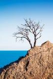 Osamotniona stara drzewna sosna na górze na skałach na dennym tle Obrazy Stock