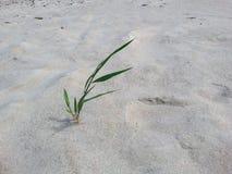Osamotniona trawa w pustynnych piaskach Zdjęcie Stock