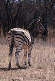 osamotniona zebra Fotografia Stock