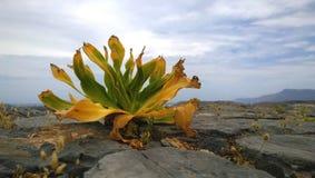 Osamotniona zieleni roślina pomimo suchej i wietrznej pogody wzrasta na górze góry na skałach Gramvousa wyspa Obraz Royalty Free