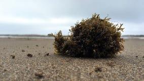 Osamotnione algi na piaskowatej plaży Obraz Stock