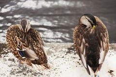 Osamotnione kaczki Zdjęcia Royalty Free