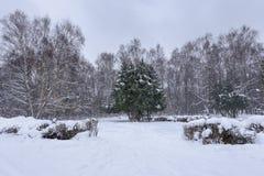Osamotnione sosny w śnieżnym zima lesie podczas opad śniegu Lasu krajobraz w zimie zdjęcia royalty free