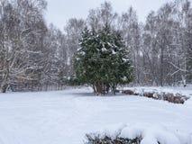 Osamotnione sosny w śnieżnym zima lesie podczas opad śniegu Lasu krajobraz w zimie fotografia stock