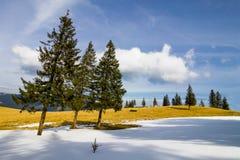 Osamotnione sosny w jaskrawym zima dniu Zdjęcie Royalty Free