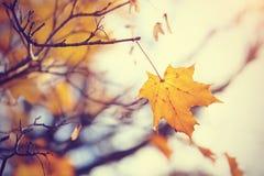 Osamotnionego żółtego liścia klonowego opóźniony spadek Fotografia Royalty Free