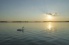 Osamotniony łabędź na jeziorze Zdjęcia Royalty Free
