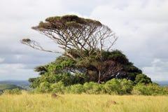 Osamotniony afrykański drzewo Obraz Royalty Free