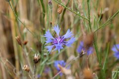 Osamotniony błękitny kwiat na tle zielona trawa Zdjęcie Stock