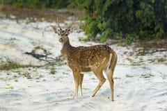 Osamotniony białego ogonu kamery jeleni patrzeje mężczyzna obraz stock