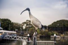 Osamotniony biały ibisa ptak Fotografia Stock