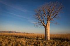 Osamotniony Boab drzewo na szerokich traw mieszkaniach z Cockburn pasmem w tle Fotografia Stock