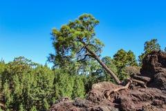 Osamotniony Canarian sosnowy Pinus canariensis dorośnięcia dobro z skały na lawowych polach Mirador De Los Poleos tenerife kanare zdjęcie royalty free