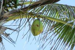 Osamotniony Coconum Zdjęcie Royalty Free