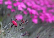 Osamotniony czerwony kwiat Zdjęcia Stock