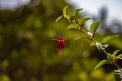Osamotniony czerwony kwiat w kwiacie zdjęcie royalty free