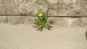 Osamotniony dandelion w asfalcie trawa w mieście obrazy royalty free