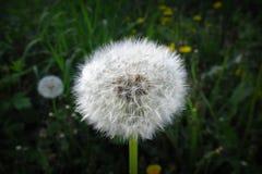 Osamotniony dandelion z zielonym tłem czeka dmuchającym daleko od zdjęcia royalty free