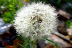 Osamotniony dandelion z zielonym tłem czeka dmuchającym daleko od 3 obrazy stock