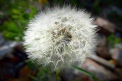Osamotniony dandelion z zielonym tłem czeka dmuchającym daleko od 2 zdjęcie royalty free