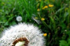Osamotniony dandelion z zielonym tłem czeka dmuchającym daleko od fotografia stock
