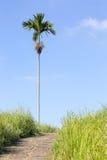 Osamotniony drzewko palmowe blisko odprowadzenie śladu Fotografia Stock