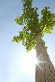 osamotniony drzewny oddolny widok obrazy royalty free