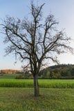 Osamotniony drzewo bez liści na zielenieje pole obrazy royalty free