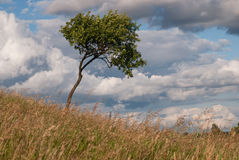 Osamotniony drzewo blowed wiatrem Zdjęcia Royalty Free