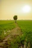Osamotniony drzewo między ryżowym polem Zdjęcie Stock