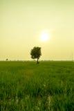 Osamotniony drzewo między ryżowym polem Zdjęcia Stock