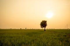 Osamotniony drzewo między ryżowym polem Obrazy Royalty Free