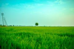 Osamotniony drzewo między ryżowym polem Zdjęcie Royalty Free
