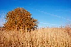 Osamotniony drzewo na długą żółtą trawę z tłem jasny niebieskie niebo Obraz Royalty Free